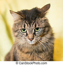 Striped siberian cat on a yellow background