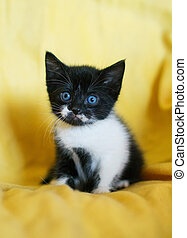 Black-and-white kitten with blue eyes