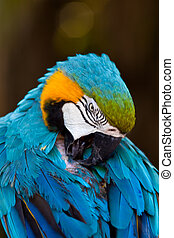 Blue Yellow Macaw Parrot Bird - Colorful Blue Yellow Macaw...