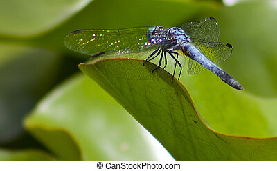 blue dragonfly - a blue dragonfly sits on a lily pad in the...