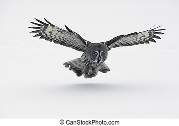 Great-grey owl, Strix nebulosa, Finland, winter...