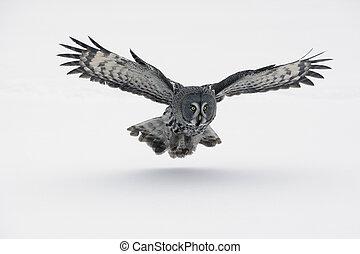 Great-grey owl, Strix nebulosa, Finland, winter...