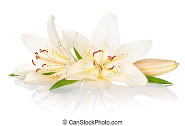 Two white lily flowers Isolated on white background