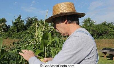 tasting sweet corn crop - farmer samples his sweet corn crop