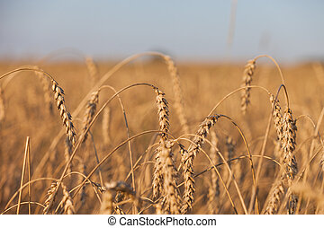 Wheat or rye agriculture field plant