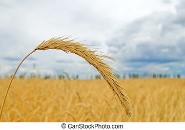 ear of wheat with blue sky on a background
