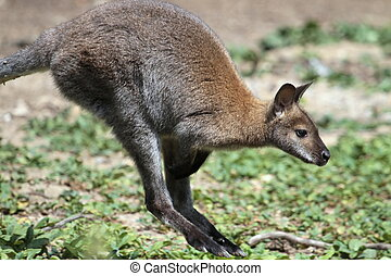 Bennett wallaby kangaroo - Bennett wallaby macropus...