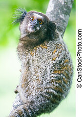 Common marmoset - Callithrix jacchus. - Common marmoset or...