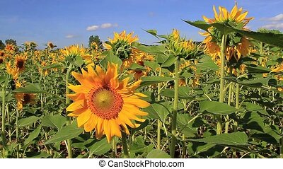 Sunflower two - Panoramic sunflower