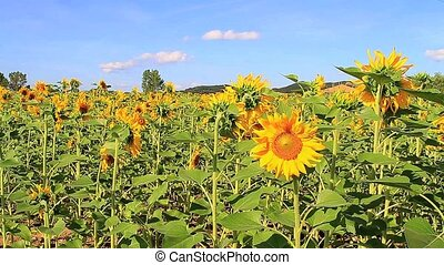Sunflower one - Panoramic sunflower