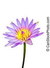Purple water lily flower lotus and white background The...