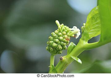 Noni Flower - Noni or Indian Mulberry (Morinda. Citrifolia...
