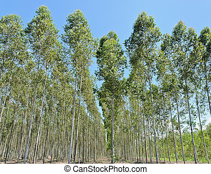Eucalyptus plantation in Thailand