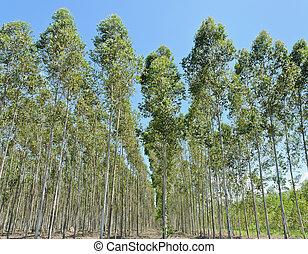 eucalipto, plantación
