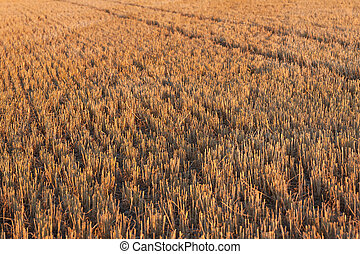 cereal newly harvested fields during sunset