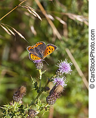 small copper butterfly on thistle