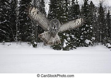 Great-grey owl, Strix nebulosa, single bird in flight,