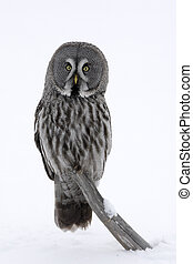 Great-grey owl, Strix nebulosa, single bird on branch,...
