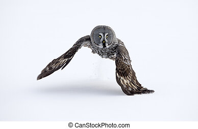 Great-grey owl, Strix nebulosa, single bird in flight,