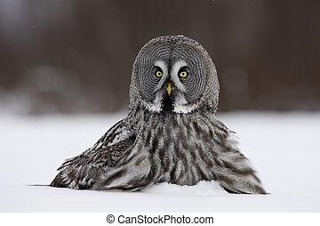 Great-grey owl, Strix nebulosa - Great-grey, owl, Strix,...
