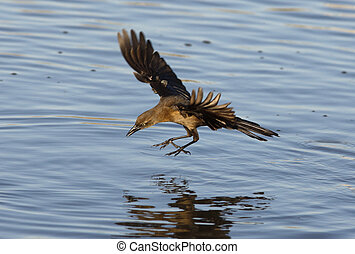Great-tailed grackle, Quiscalus mexicanus, female flight,...