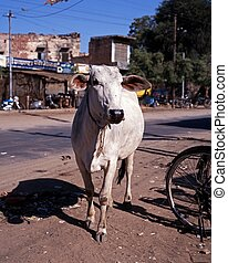 Cow in road, Jaipur, India. - White cow standing in the...