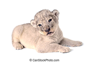 Lion cub - A cute little lion cubs on the white background.