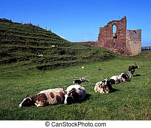 Sheep and castle ruin, Tutbury. - Castle gardens and sheep,...