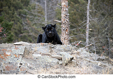 black Panther on rock