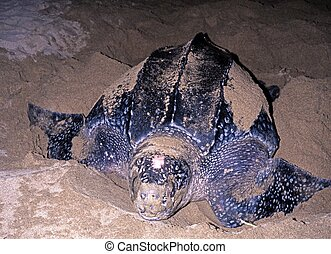 Leatherback turle laying eggs. - Leatherback Turtle coming...