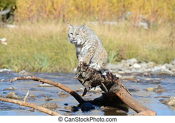 bobcat over water - bobcat