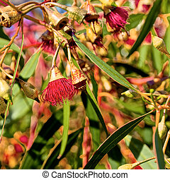 red flowering australian gum tree - close up of flowering...