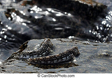 Mudskipper fish - Two Mudskipper fish on a rock