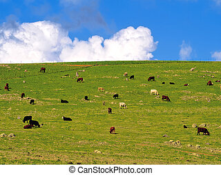 Some cattle and a lonely horse on a green hillside - Lots of...