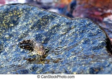 Mudskipper fish - Two Mudskipper fish on a rock.