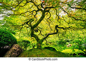 Amazing Green Tree - Amazing Green Japanese Maple Tree,...