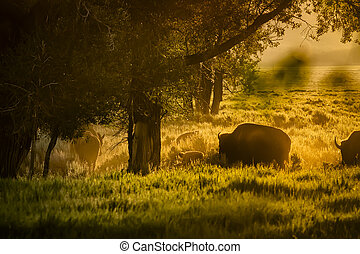 Buffalo Herd Grazing at Dawn in the Tetons - Adult and baby...