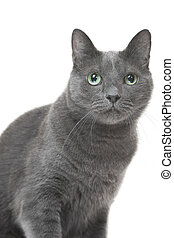 Russian blue cat sitting on isolated white background