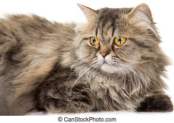 young Persian cat lying on isolated white