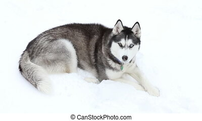 Siberian Husky in Snow