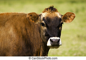 Brown cow portrait over a green field in dairy farm.