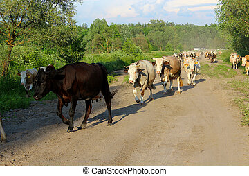 cows coming back from pasture - image of cows coming back...