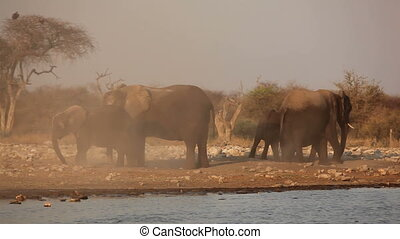 African elephants in dust - African elephants (Loxodonta...