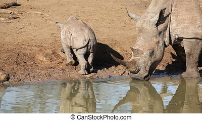 White rhinoceros and calf - White rhinoceros (Ceratotherium...