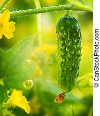 Fresh Organic Cucumber growing in the garden