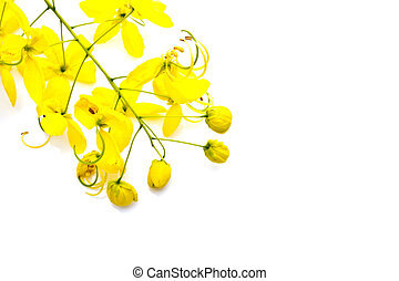 Golden shower(Cassia fistula) isolate on white background -...
