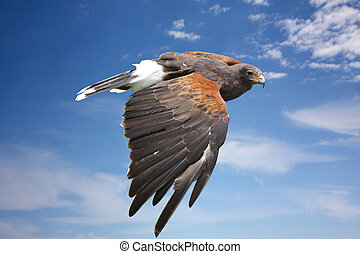 harrier hawk or eagle flying on blue sky - bird (harrier...