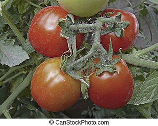 Tomatoes on a plant, Lycopersicon
