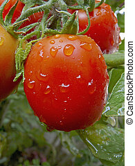 Tomatoes on a plant, Lycopersicon esculentum
