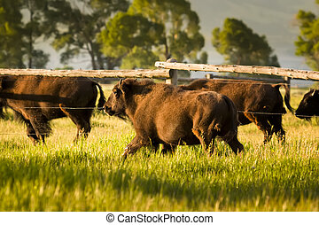 Bison Herd at Dawn - Herd of buffalo walking near a fence in...